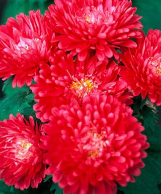 "Peony-flowered aster ""Opalfeuer"" - 450 seeds"