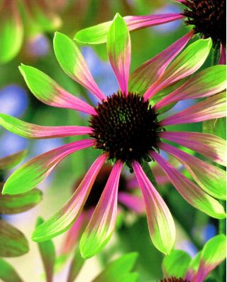 Echinacea, Coneflower Green Envy