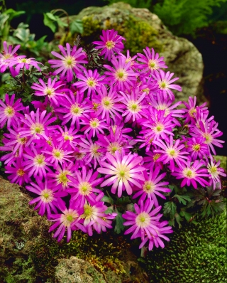 Balkan anemone - Violet Star - 8 pcs; Grecian windflower, winter windflower