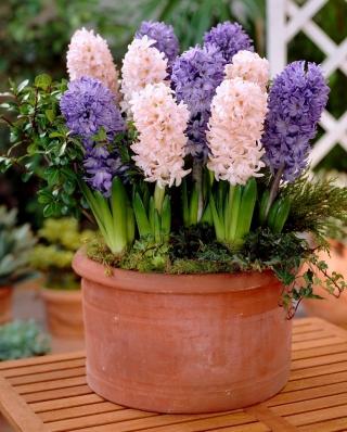 """Hurdy-gurdy"" - 30 hyacinth bulbs - composition of 2 varieties"