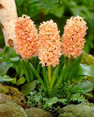 Hiacintes - Gipsy Queen - 3 gab. Iepakojums - Hyacinthus