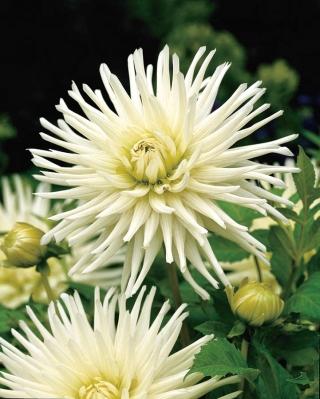 Dahlia Cactus White