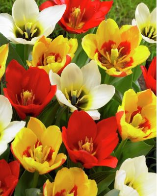 Tulpes botanical mix - 5 gab. Iepakojums - Tulipa botanical