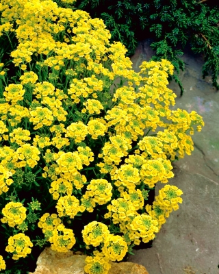 Mountain Gold seeds - Alyssum montanum - 500 seeds