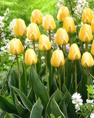 Tulip Cream Cocktail - 5 pcs
