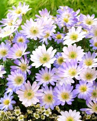 Анемоны балканские - набор из 2-х бело-голубых цветков - 80 шт .; Греческий ветряк, зимний ветряк -