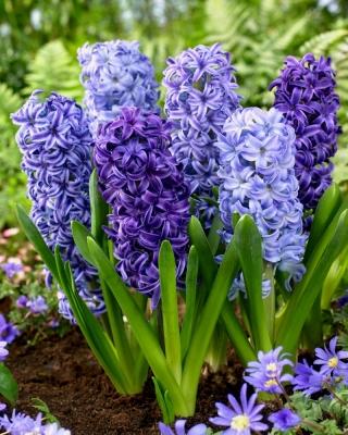 Blue mix - a selection of 3 blue hyacinth varieties - 27 pcs