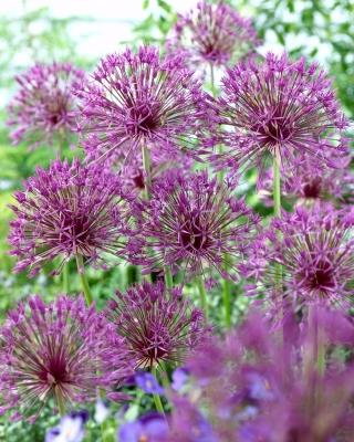 """Purple Rain"" ornamental onion - 30 bulbs"