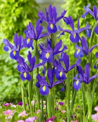 """Discovery"" Dutch iris - 10 bulbs"