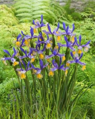 """""""Miss Saigon"""" Dutch iris - large package! - 100 bulbs"""