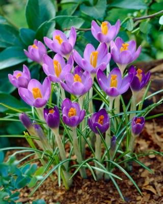 Crocus Barr's Purple - 10 pcs