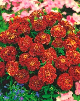 Marigold Aurora Red seeds - Tagetes patula nana fl. pl. - 350 seeds
