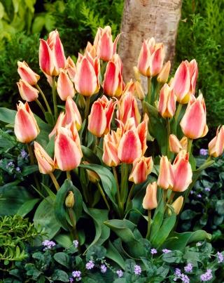 Tulip Quebec - 5 pcs