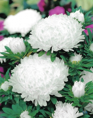 White tall peony aster - 500 seeds