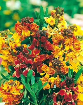 English Wallflower (biennial) mixed seeds - Cheiranthus Cheiri