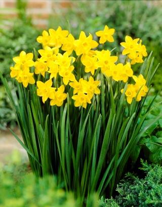 Narcissus Jonquilla Sweetness - 5 bulbs