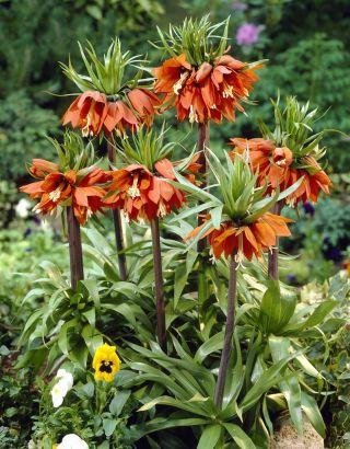 Fritillaria imperialis Aurora - Crown imperial Aurora