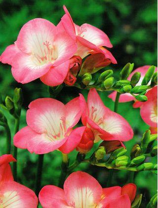 Frezja pojedyncza różowa - 10 szt.