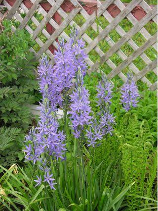 Camassia blue - 2 bulbs