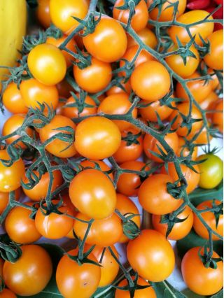 """Cocktail Tomato """"Citrus Grape"""" - tiny, yellow fruit, up to 75 in one bunch!"""