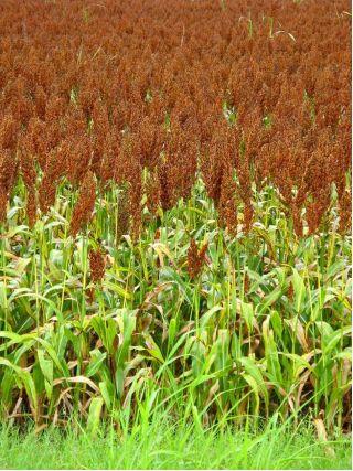 Black Millet seeds - Sorghum nigrum - 60 seeds
