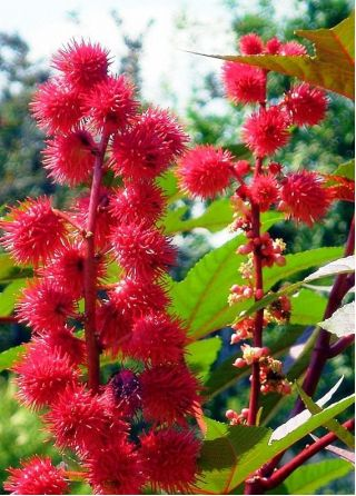 Castor Oil Plant New Zealand Purple seeds - Ricinus communis - 4 seeds