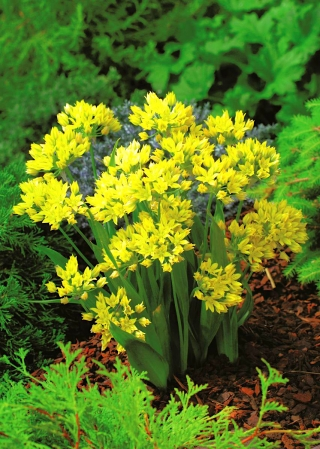 Yellow garlic - Allium moly - XXXL package! - 1000 pcs; golden garlic, lily leek