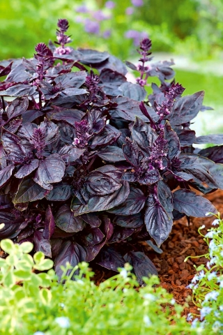 Red Rubin Basil seeds - Ocimum basilicum - 325 seeds