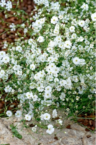 White annual baby's breath, showy baby's breath - 2800 seeds