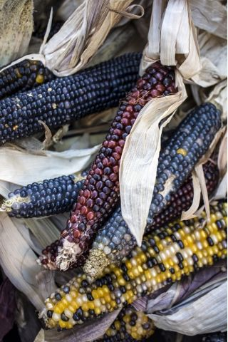 Ornamental Corn, Ornamental Maize mix seeds - Zea mays