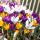 Olimpia - 90 bulbos de azafrán - composición de 3 variedades -