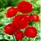 Ranunculus, Buttercup Red - 10 bulbs