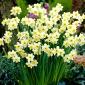 Narcissus Minnow - Daffodil Minnow - 5 bulbs