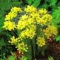 Allium Moly - 20 bulbs