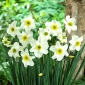 """Daffodil """"Sinopel"""" - 5 pcs."""