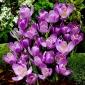 Crocus Flower Record - 10 bulbs