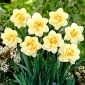 Daffodil Manly – 5 pcs; narcissus