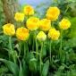 Tulipa Beauty od Apeldorn - Tulip Beauty od Apeldorn - 5 bulbs