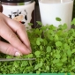 Microgreens - Alfalfa - young leaves with exceptional taste