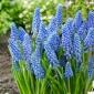 Grape hyacinth Big Smile - 10 pcs