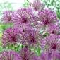 """Purple Rain"" ornamental onion - 3 bulbs"