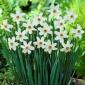 Narcissus Recurvus - Daffodil Recurvus - 5 bulbs