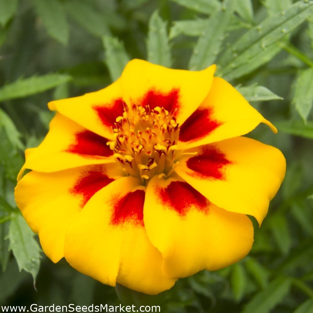 Marigold Rote Mariettasamen Tagetes patula nana 350 samen