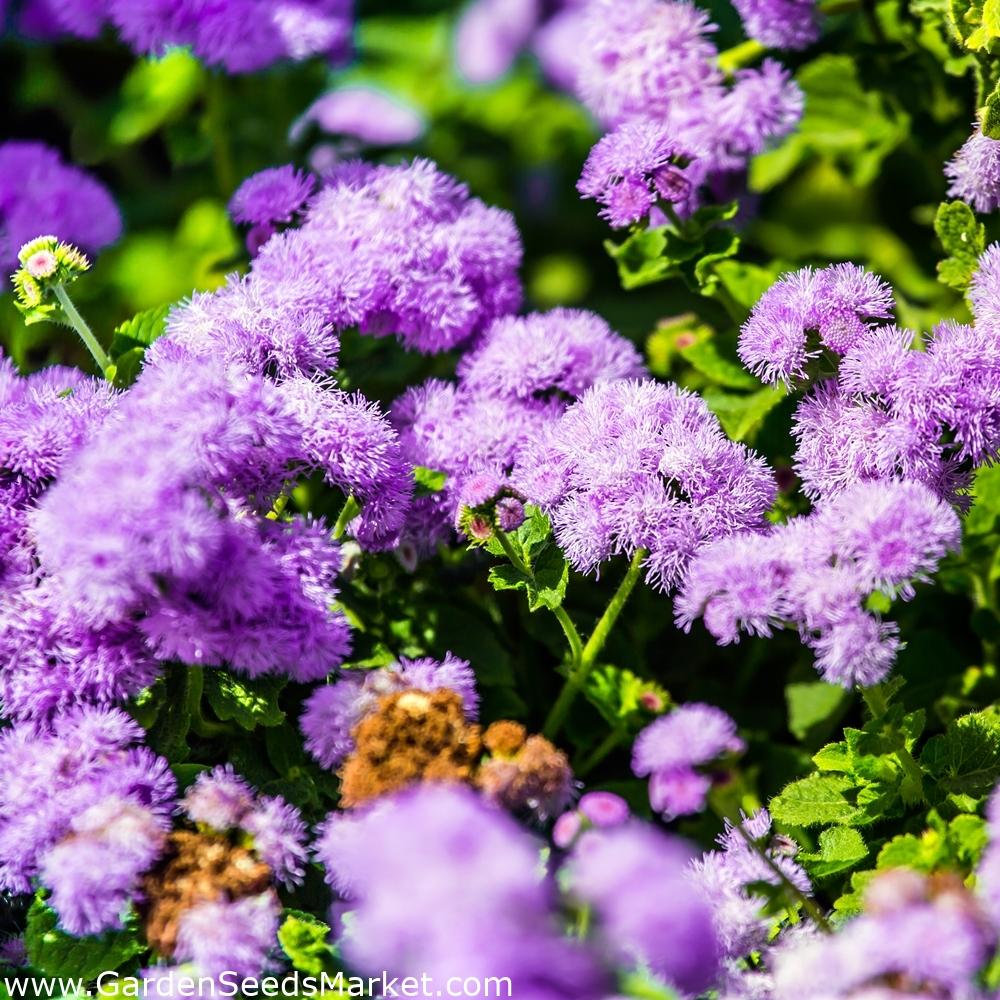 3000 Graines de Agératum Bleu Fleur Annuelle
