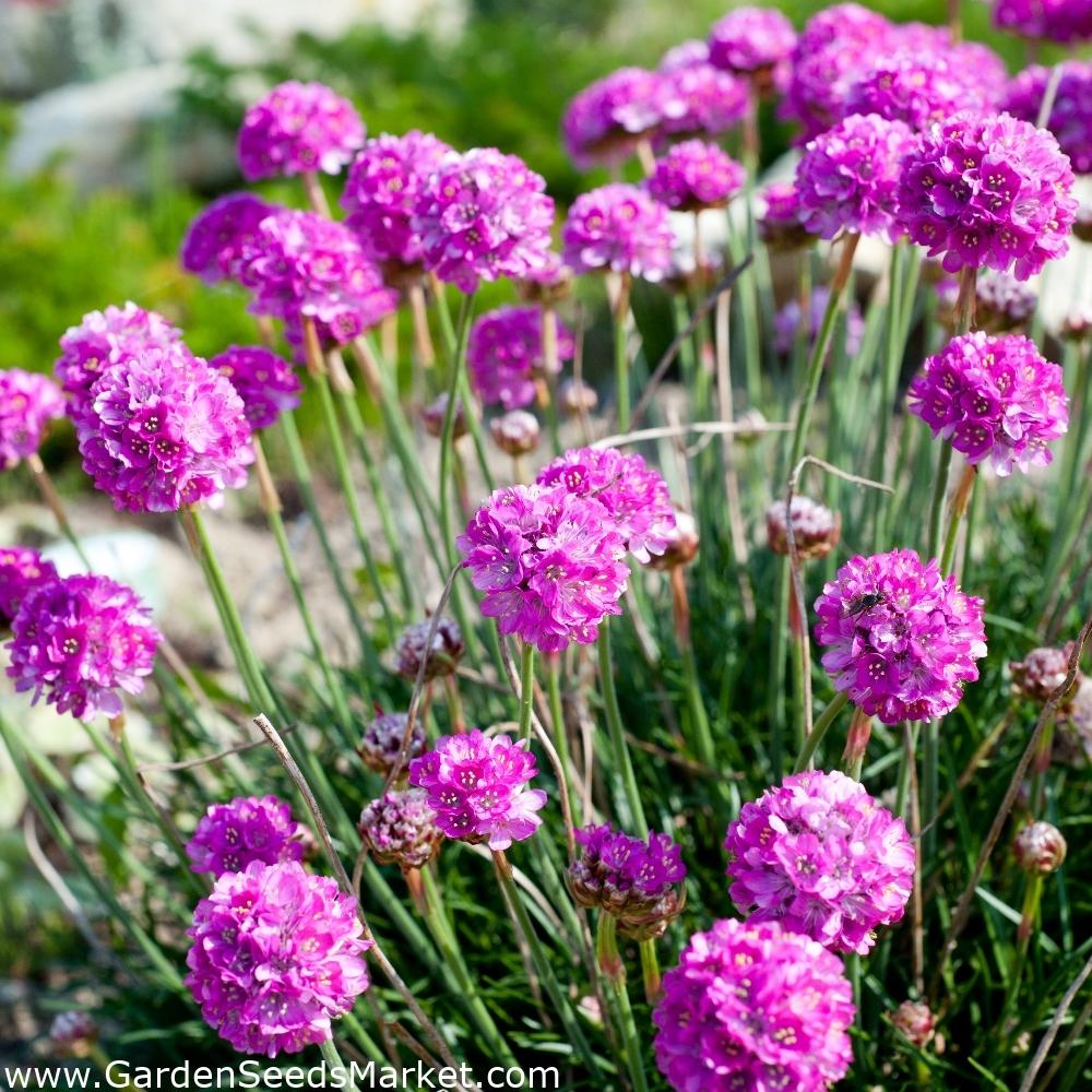 Sea Thrift 100 Seeds Armeria maritima sp maritima Wildflower
