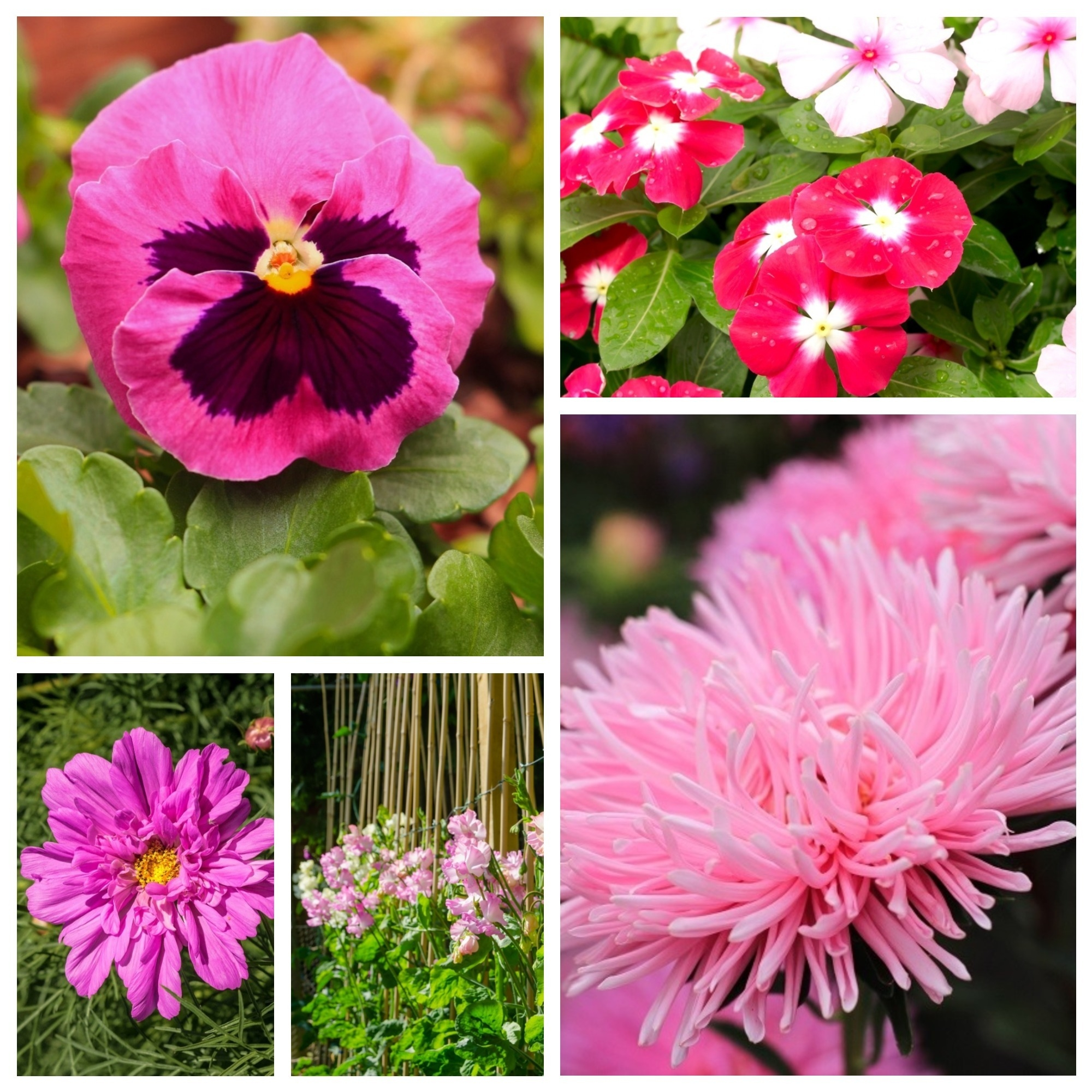 """pink with a 400 seeds Large-flowered garden pansy /""""Laura Swiss/"""""""