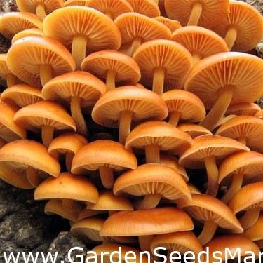 Ciuperca enoki de slabire
