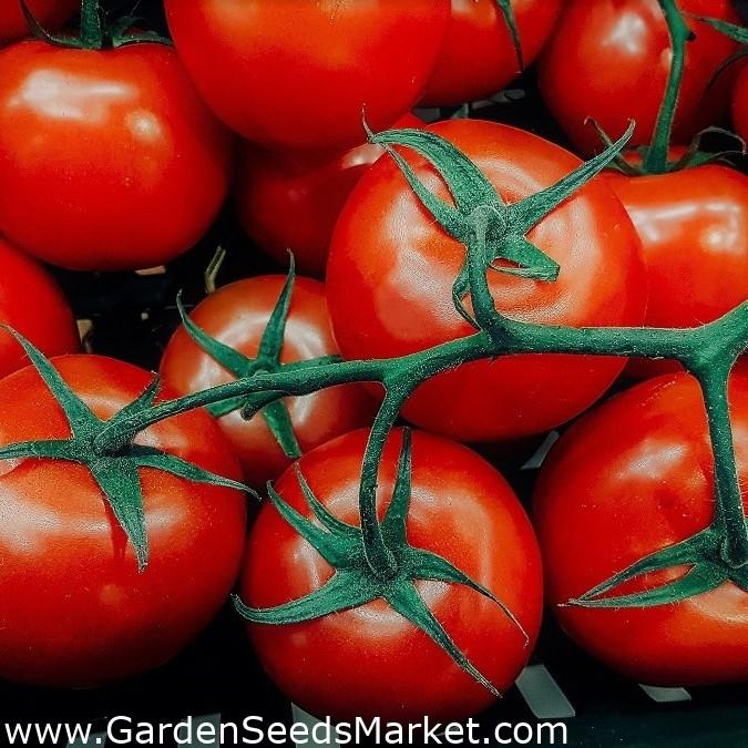 для томат любань отзывы фото противном