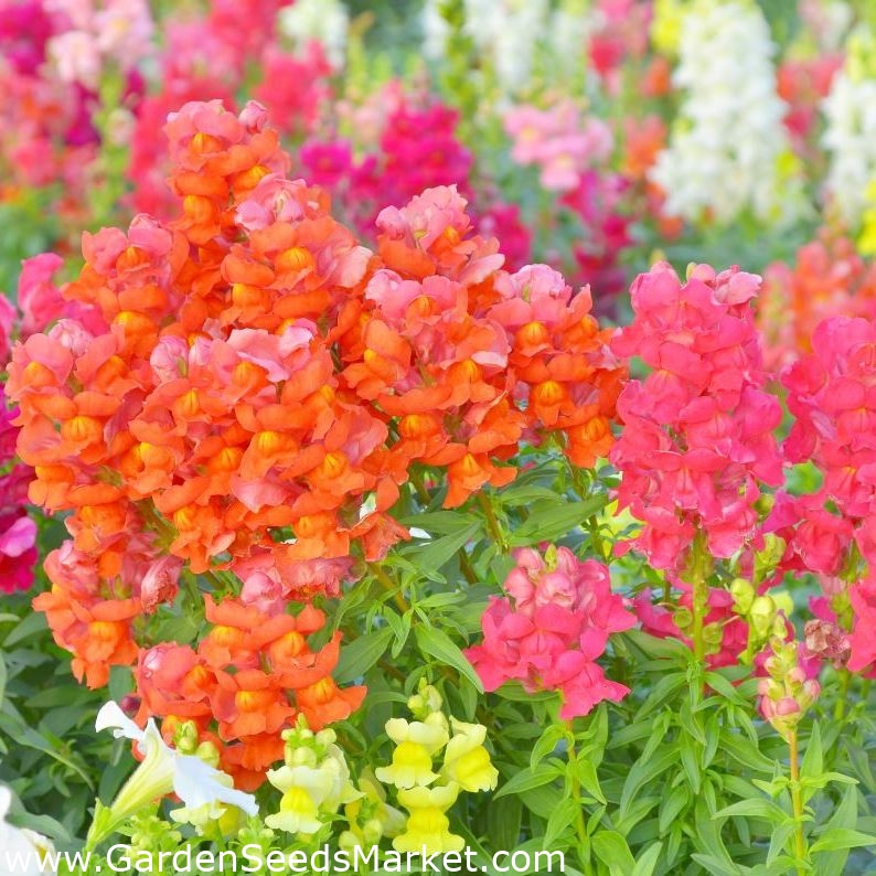 Snapdragon Snappy Mauve Seeds Annual Dwarf Form Long Flowering Cut Flower