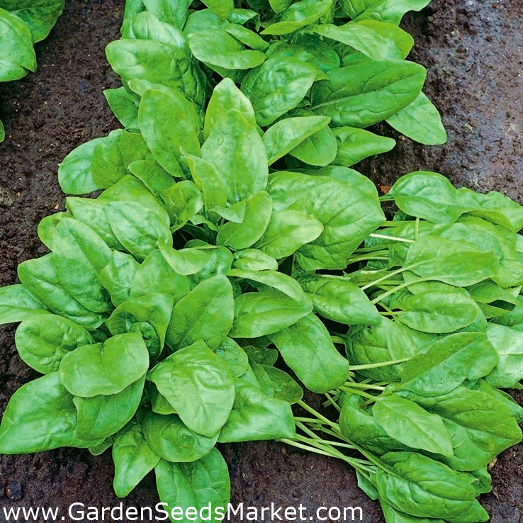 Ceai Digestiv Tulsi Tummy cu Ghimbir, Plante Savuroase și Condimente, Organic India, 18 plicuri